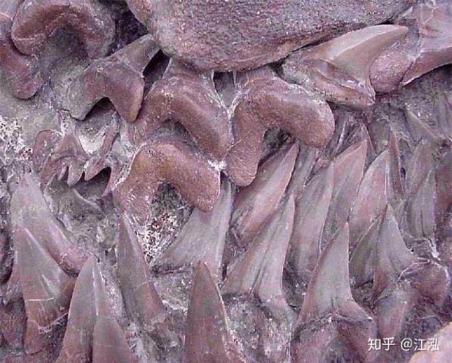 Cretoxyrhina: Loài cá mập thời tiền sử còn đáng sợ hơn cả Megalodon - Ảnh 6.