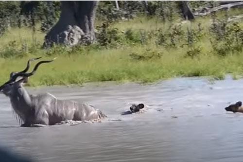 """CLIP: Đàn chó hoang """"uống no nước"""" khi tấn công linh dương vằn Kudu"""