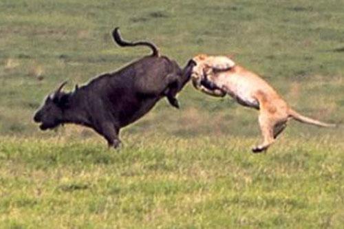 Sư tử bị đá 'vỡ hàm' vì lén lút săn trâu rừng