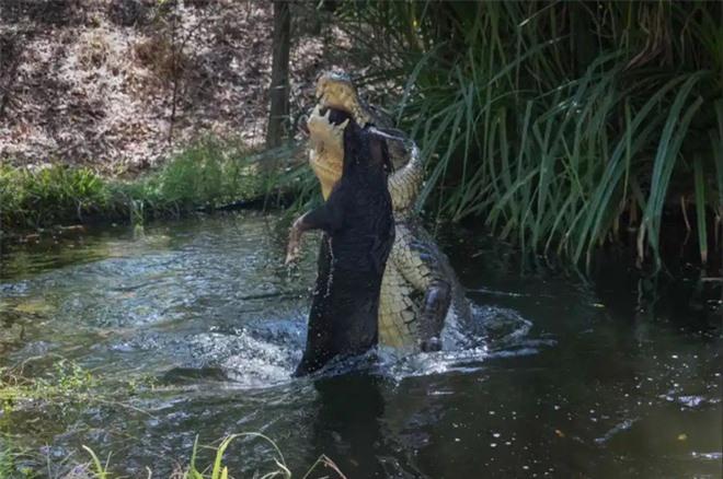Cá sấu khổng lồ tàn bạo hất tung lợn lên cao, xé toạc làm đôi rồi chén sạch - Ảnh 3.