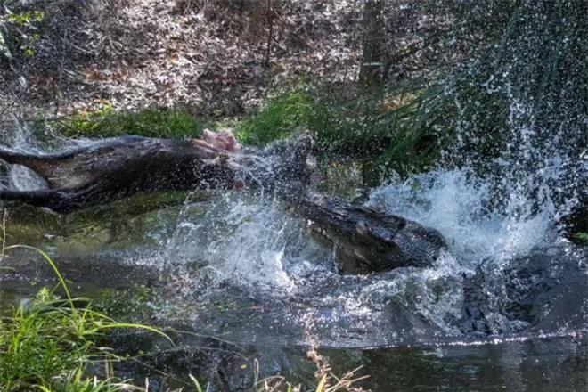 Cá sấu khổng lồ tàn bạo hất tung lợn lên cao, xé toạc làm đôi rồi chén sạch - Ảnh 4.
