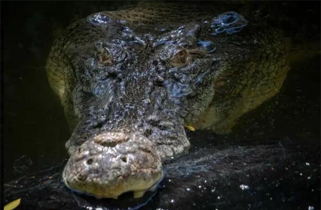 Cá sấu khổng lồ tàn bạo hất tung lợn lên cao, xé toạc làm đôi rồi chén sạch - Ảnh 7.