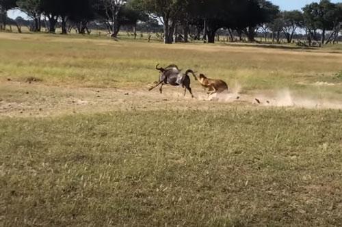 """CLIP: Sư tử cái nằm chờ đàn linh dương tới """"nộp mạng"""""""
