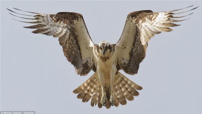 Chim ưng bay cách mặt nước khoảng 1.8 mét để tìm mồi