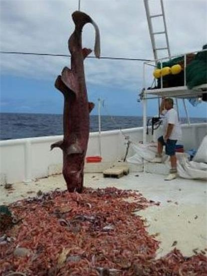 Chú cá dài khoảng 5,5m