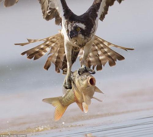 """Chú cá chép đang """"kêu cứu"""""""