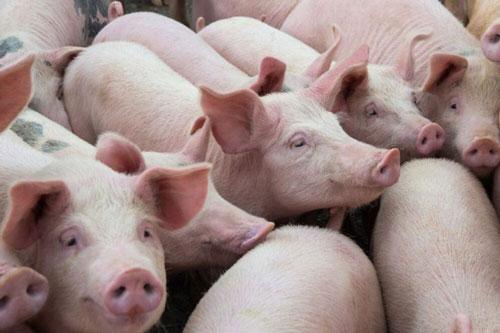 Giá thịt lợn hơi tại các địa phương gần đây đồng loạt giảm mạnh. Ảnh minh họa.