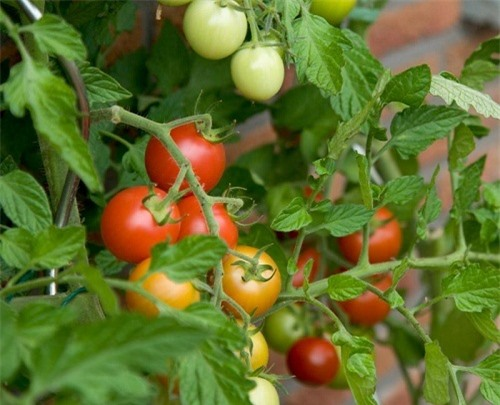 Tự chế 5 loại thuốc trừ sâu thiên nhiên cực hiệu quả, cả năm rau không sâu bệnh - 3