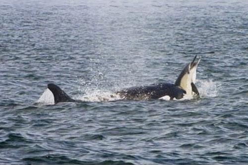 Cá voi sát thủ bắt được cá heo.
