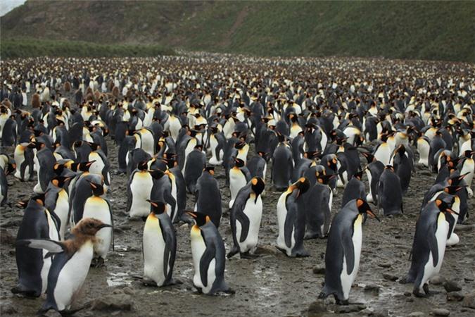 Những chú chim cánh cụt con có bộ lông màu nâu bên cạnh bố mẹ của mình