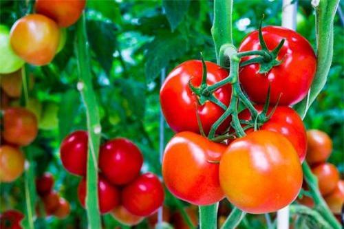 Mách nhỏ nàng cách đắp mặt nạ cà chua an toàn, hiệu quả mà lại đơn giản và tiết kiệm - 3