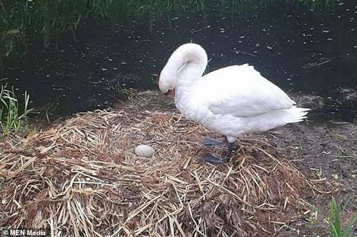 Ba quả trứng bị vỡ, còn lại ba quả nguyên vẹn, nhưng sau đó trứng lại bị đánh cắp, khiến trong tổ chỉ còn lại một quả trứng nguyên vẹn