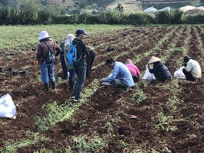 Xã viên của HTX Nam Hà đang thu hoạch khoai lang.