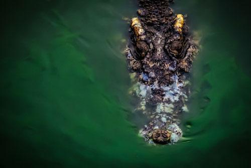 Tìm thấy thi thể nạn nhân trong dạ dày con cá sấu nước mặn dài 4 m