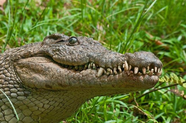 Một con cá sấu ở Indonesia. Ảnh minh họa