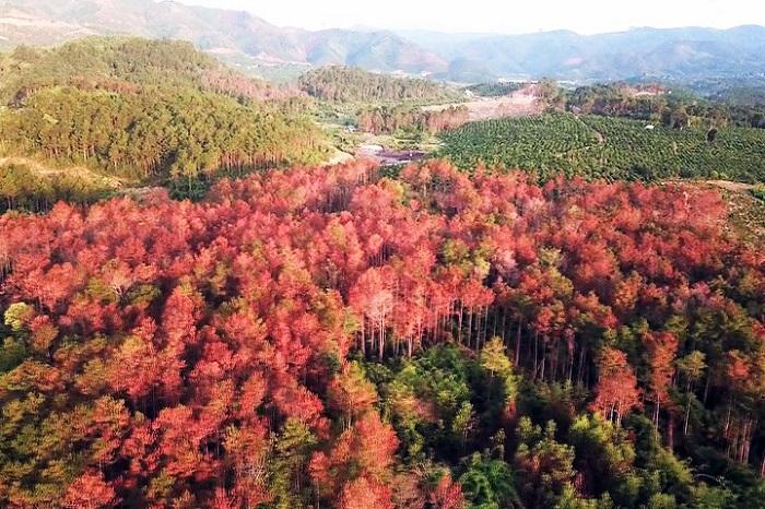 Gần 10ha rừng thông bị đầu độc, hủy hoại tại xã Tân Thanh, huyện Lâm Hà. (Ảnh: internet).