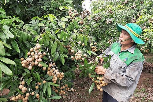 Nhãn Hưng Yên đã được cấp mã vùng trồng sang thị trường EU.