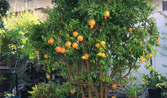 Khu vườn của ca sĩ Trường Vũ, có những cây trên 20 năm tuổi - Ảnh 9.