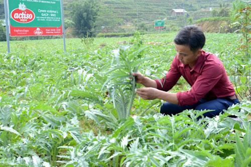 Cây dược liệu atisô trồng tại Lào Cai.