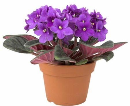 hoa-Violet-7268-1420340219