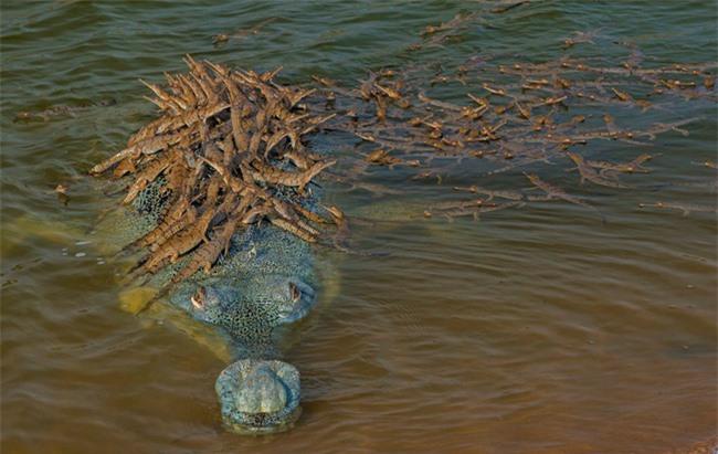 """Khoảnh khắc cõng con trên lưng đầy dịu dàng của cá sấu khiến ai cũng thốt lên: """"Bố là tất cả"""" và đây không phải là """"ông bố của năm"""" duy nhất - Ảnh 1."""