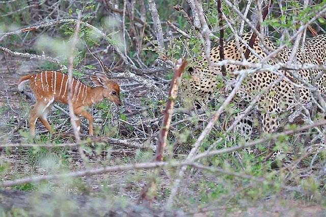 Theo Latest Sightings, cảnh tượng này do anh Andre Fourie – hướng dẫn viên du lịch kiêm kiểm lâm tình cờ ghi lại được tại Vườn Quốc gia Greater Kruger ở Nam Phi.