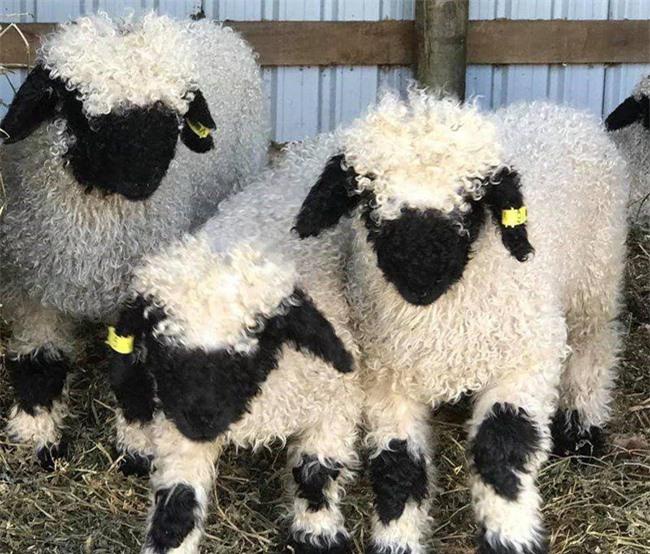Những chú cừu trông không khác gì thú nhồi bông hoặc nhân vật hoạt hình nhưng lại có thật khiến ai ai cũng muốn cưng nựng - Ảnh 1.
