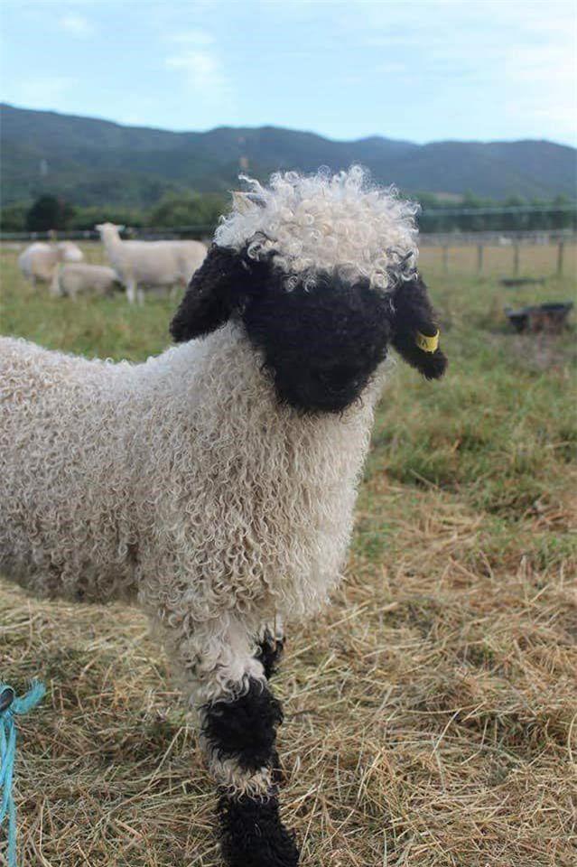 Những chú cừu trông không khác gì thú nhồi bông hoặc nhân vật hoạt hình nhưng lại có thật khiến ai ai cũng muốn cưng nựng - Ảnh 2.