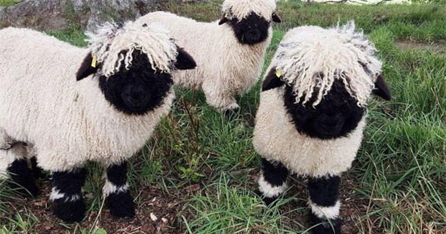 Những chú cừu trông không khác gì thú nhồi bông hoặc nhân vật hoạt hình nhưng lại có thật khiến ai ai cũng muốn cưng nựng - Ảnh 3.