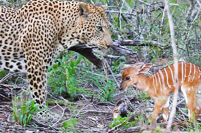 Trước đó, con báo đã dễ dàng tóm gọn được chú linh dương mới vài tuần tuổi.