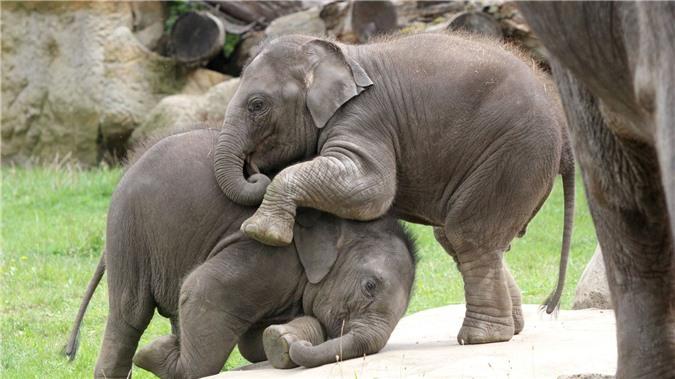 Sự thật đằng sau bức ảnh voi Ấn Độ khổng lồ 'đánh nhau' trong sở thú