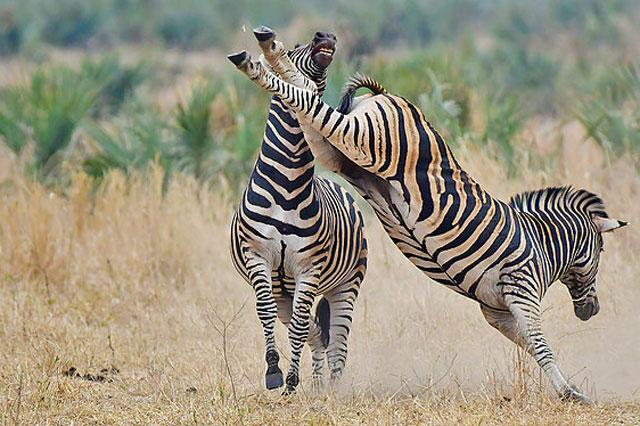 Ngựa vằn ác chiến kinh hoàng giành quyền giao phối