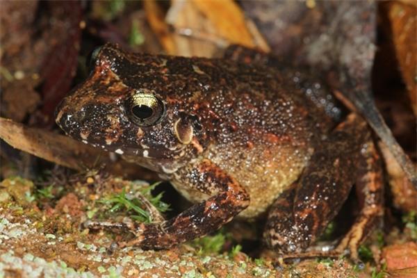 Loài ếch mới có cặp giò màu cam. Ảnh Iaflscience