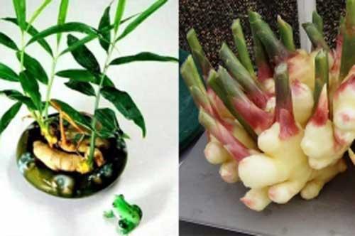 Cách trồng gừng tại nhà không cần đất nhanh lớn, nhiều củ
