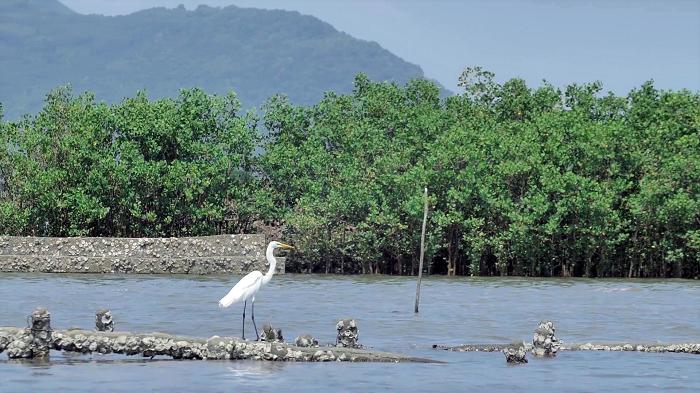 Mảng xanh đang dần hình thành từ những hàng đước non do Quỹ 1 triệu cây xanh cho Việt Nam và Vinamilk trồng tại ven sông Chà Và, tỉnh Bà Rịa Vũng Tàu.