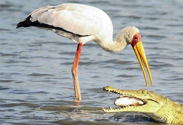 Cá sấu chớp cơ hội cướp mồi của 'bạn' cò