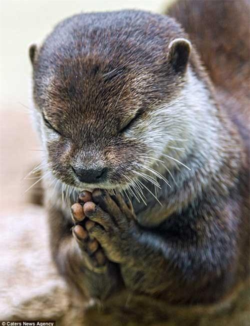 """Chú rái cá """"chắp tay cầu nguyện"""" trước bữa ăn - 1"""