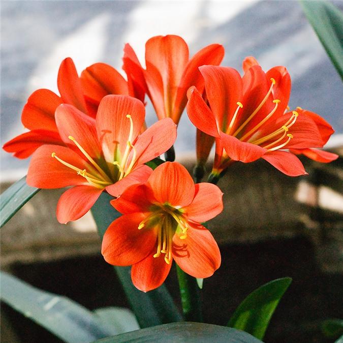Màu sắc của loài hoa này mang đến sự may mắn cho các gia đình
