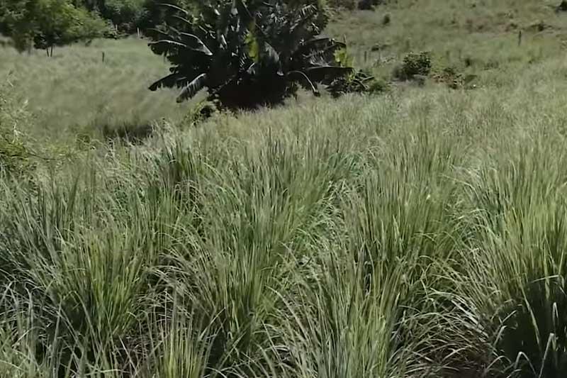 Hòa Bình: 'Đổi đời' nhờ trồng sả lấy tinh dầu