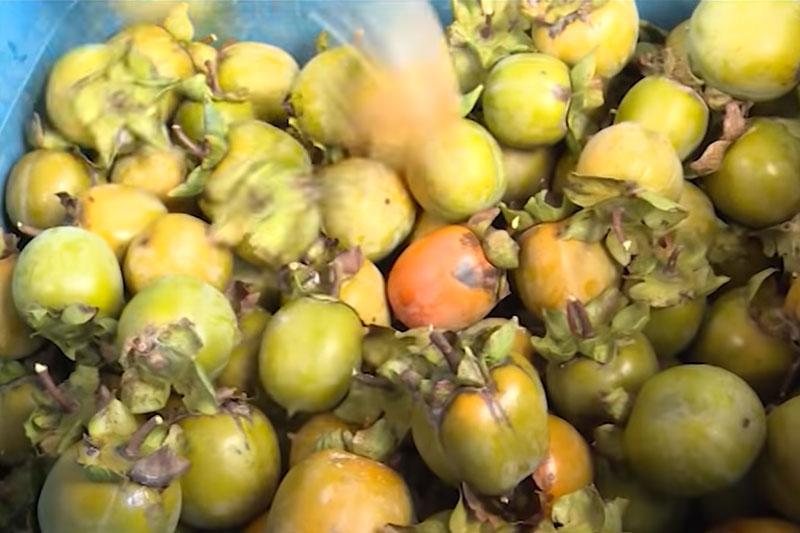Hà Giang: Làm giàu từ mô hình trồng hồng không hạt