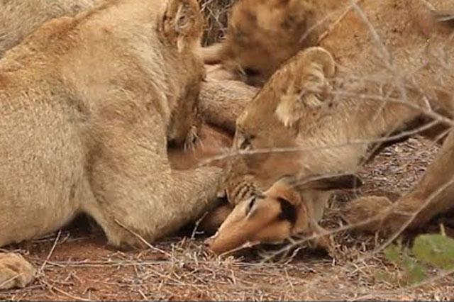Sư tử tung cú vồ mồi tuyệt đỉnh, đoạt mạng linh dương trong chớp mắt