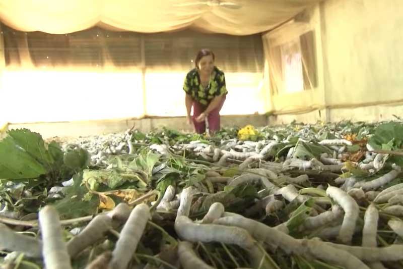 Lâm Đồng: Trở thành triệu phú từ nghề trồng dâu nuôi tằm