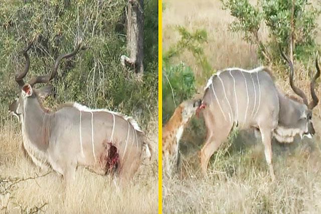 Linh dương Kudu chết thảm khi bị linh cẩu cắn thủng bụng