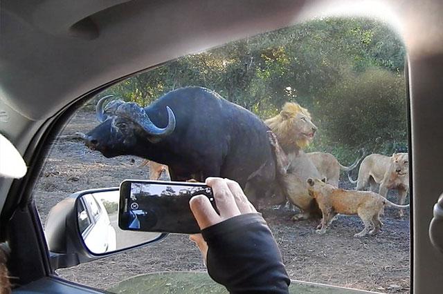 Sư tử thản nhiên 'xẻ thịt' trâu rừng ngay trước mặt của nhiều người