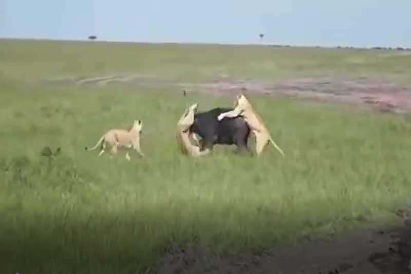 CLIP: Húc thủng đùi sư tử, trâu rừng vẫn không thể trốn thoát