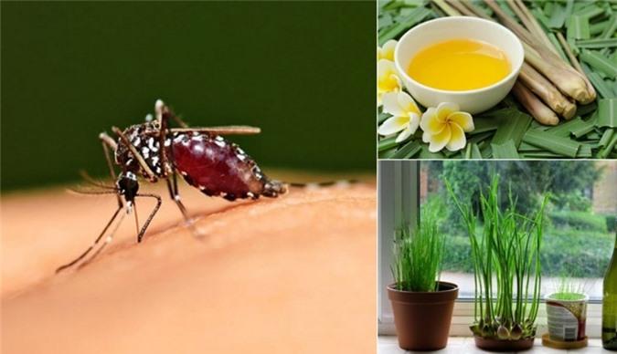Dùng cây hương liệu đuổi muỗi