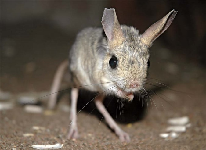 Gặp gỡ giống chuột kỳ lạ trông như kết quả của mối tình sai trái giữa lợn, thỏ và kangaroo - Ảnh 2.