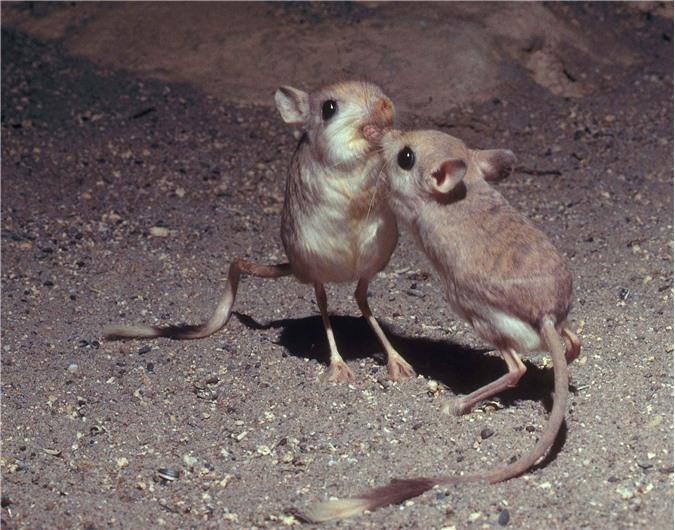 Gặp gỡ giống chuột kỳ lạ trông như kết quả mối tình sai trái giữa lợn, thỏ và kangaroo - Ảnh 3.