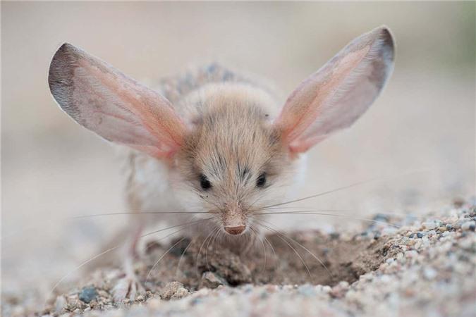 Gặp gỡ giống chuột kỳ lạ trông như kết quả mối tình sai trái giữa lợn, thỏ và kangaroo - Ảnh 4.