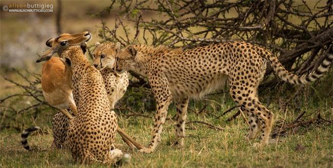 Linh dương mẹ hy sinh để bảo vệ con trước đàn báo, đến phút cuối vẫn hướng mắt về con, câu chuyện viral MXH nhưng bao nhiêu % là thật? - Ảnh 5.